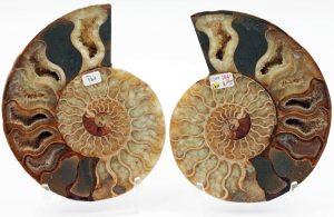 Ammonite, Cleoniceras split pair