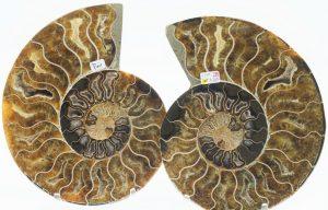 Ammonite, Cleoniceras split pair 5