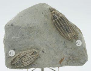 Crinoid, Pachylocrinus, Macrocrinus mundulus