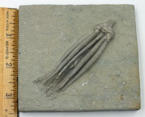 Crinoid, Parascytalocrinus validus