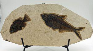 Fossil fish, Diplomystus and Priscacara plate