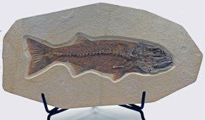 Fossil fish, Mioplosus