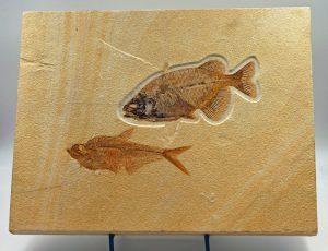Fossil fish Phareodus and Diplomystus plate 1