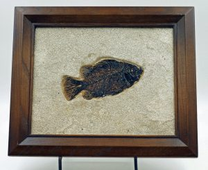 Fossil fish, Priscacara framed
