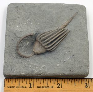 Crinoid, Macrocrinus mundulus