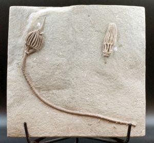 Crinoid, Macrocrinus mundulus, Abrotocrinus coreyi