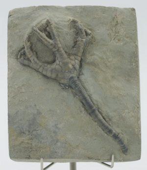 Crinoid, Onychocrinus exculptus