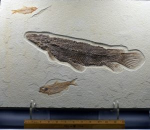 Fossil fish, Lepisosteus and Knightia plate
