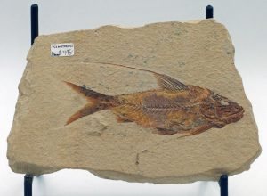 Fossil fish Nematonotus