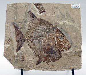 Fossil fish Palaeobalistum