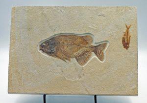 Fossil fish Phareodus and Diplomystus plate 2