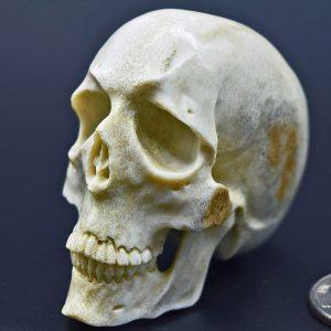 Skull carved from moose antler
