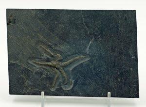 Starfish, Urasterella asperula